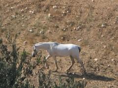 800px-White_horse-Jerusalem.jpg