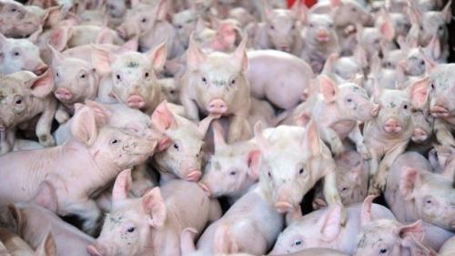 politique, société, porcs, amoralité, gabegie, amaury watremez
